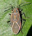 Western Boxelder Bug - Boisea rubrolineata