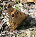 Mangrove Buckeye - Junonia genoveva - female