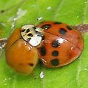 Multicolored Asian Lady Beetle - Harmonia axyridis - male - female
