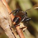 Sphecidae? - Prionyx parkeri - female