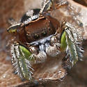 Jumper Duo - Habronattus viridipes - male