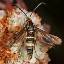 Clear Wing Moth - Synanthedon bibionipennis