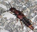 purple-black rove beetle - Platydracus cinnamopterus