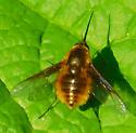 Beefly - Bombylius