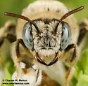 Diadasia sp.? - Diadasia ochracea - female