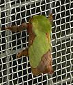 Moth - Parasa chloris