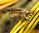 Scathophaga furcata ? - Scathophaga furcata