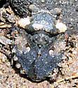 Gelastocoris species - Gelastocoris oculatus