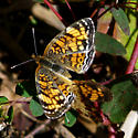 Pearl Crescents - Phyciodes tharos - male - female