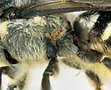 Megachilidae, lateralX with mites - Megachile pugnata - female