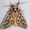 Silver-spotted Tiger Moth - Lophocampa argentata