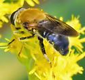 Pterallastes thoracicus - female