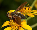 Unknown Syrphid (bee mimic) - Poecilanthrax lucifer