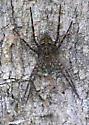 ID confirmation requested: Is this a Huntsman Spider (Heteropoda venatoria)? Observed in Durbin Preserve, Jacksonville, FL - Dolomedes