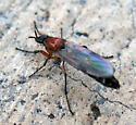 Female bibionid - Dilophus strigilatus - female