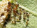 Entylia carinata nymphs and ants - Entylia carinata