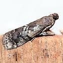 Salebriaria squamopalpiella