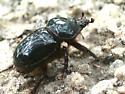 Big ol' scarab - Strategus antaeus - male