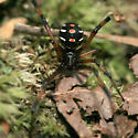 Northern Black Widow - Latrodectus variolus - female