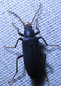 Eupsophulus castaneus
