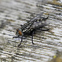 red-tailed flesh fly - Sarcophaga