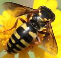 Yellow-ringed Sand Wasp - Bicyrtes - female