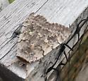 Rustic moth? - Catocala