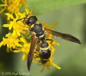 Wasp - Vespidae, Subfamily Eumeninae - Parancistrocerus perennis - female