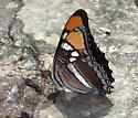 Adelpha californica - Adelpha eulalia