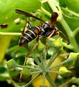 Northern Paper Wasp - Polistes fuscatus - male