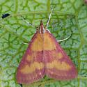 Southern Purple Mint Moth - Pyrausta laticlavia