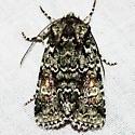 Laudable Arches Moth - Lacinipolia laudabilis