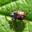 A weevil? - Anthonomus signatus