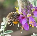 Anthophora californica - female