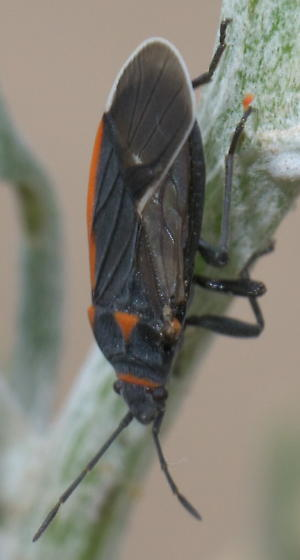 Black seed bug with a little orange - Melacoryphus lateralis