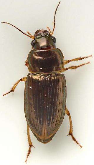 1011C18 - Selenophorus palliatus
