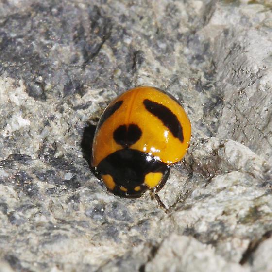 Mountain Lady Beetle - Coccinella monticola