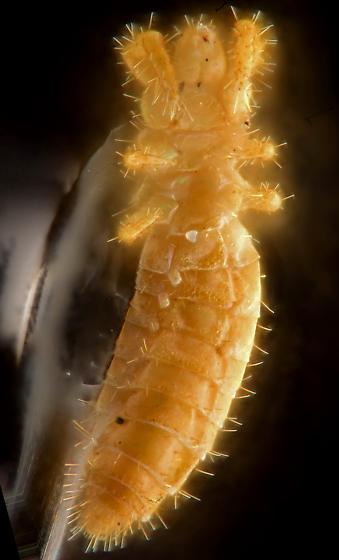 Proturan, ventral - Hesperentomon macswaini