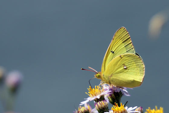 Sulphur butterfly - Colias philodice - male