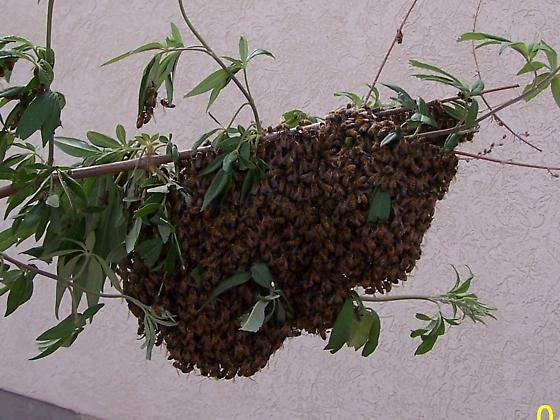 Killer Bees? Should We Move? - Apis mellifera
