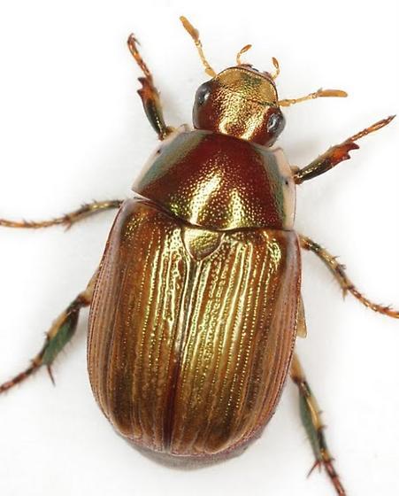 Anomala marginata Fabricius - Callistethus marginatus
