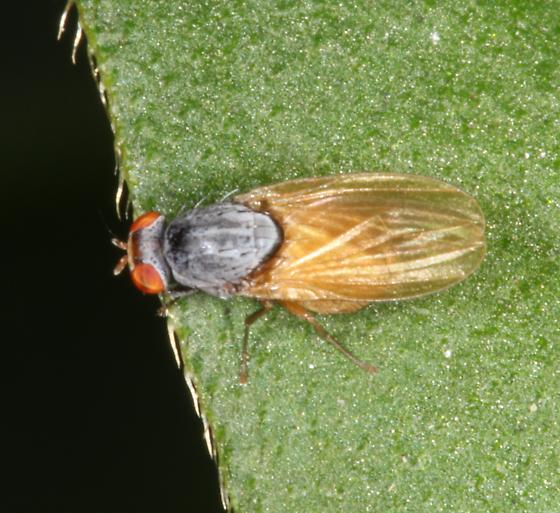 Fly with gray thorax and pale abdomen - Minettia lupulina