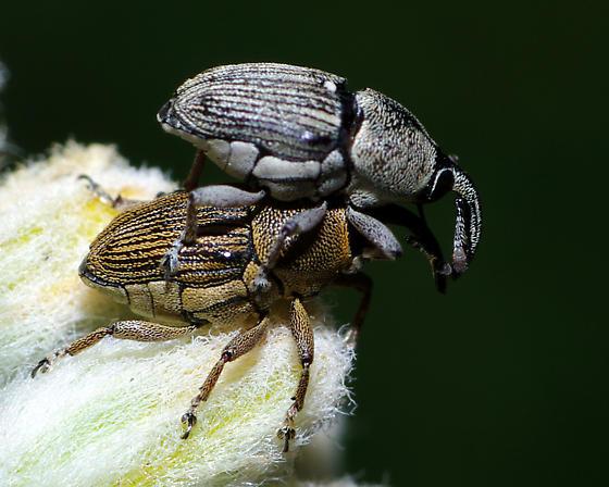 Lesser of two weevils - Odontocorynus larvatus - male - female