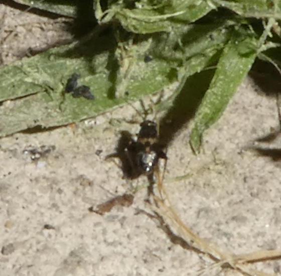 Spanagonicus albofasciatus?