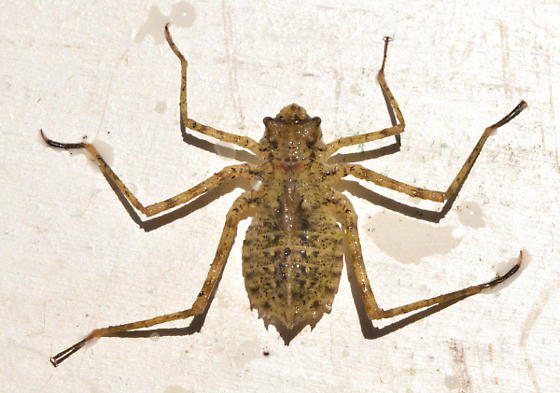 nymph1 - Macromia magnifica