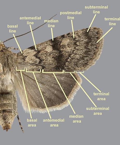 Moth Wing Nomenclature