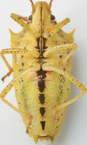 1205C01 - Oebalus pugnax