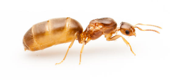 Queen - Brachymyrmex depilis - female