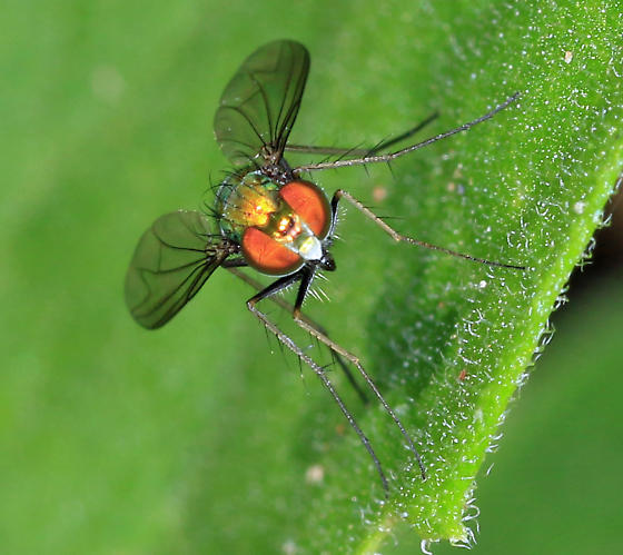 Long-legged Fly - Condylostylus