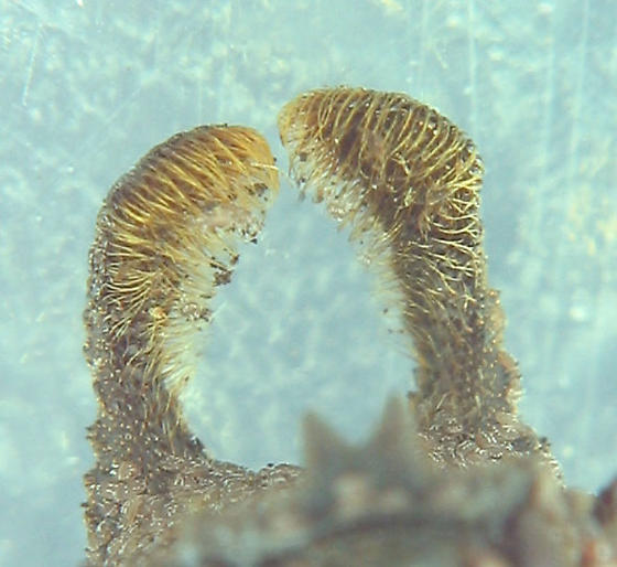 Forked Fungus Beetle - Bolitotherus cornutus - male